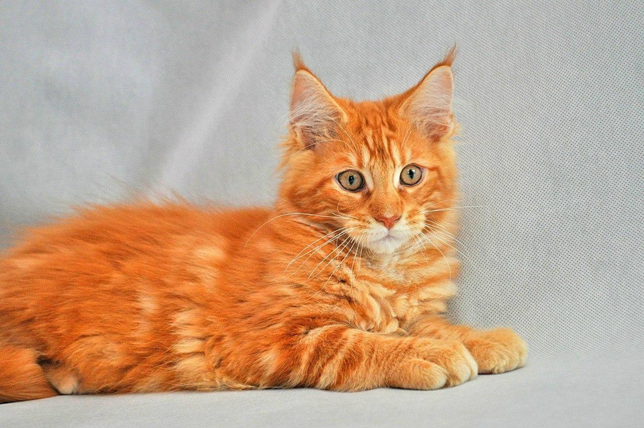 Породы рыжих кошек с фотографиями и названиями, полный список