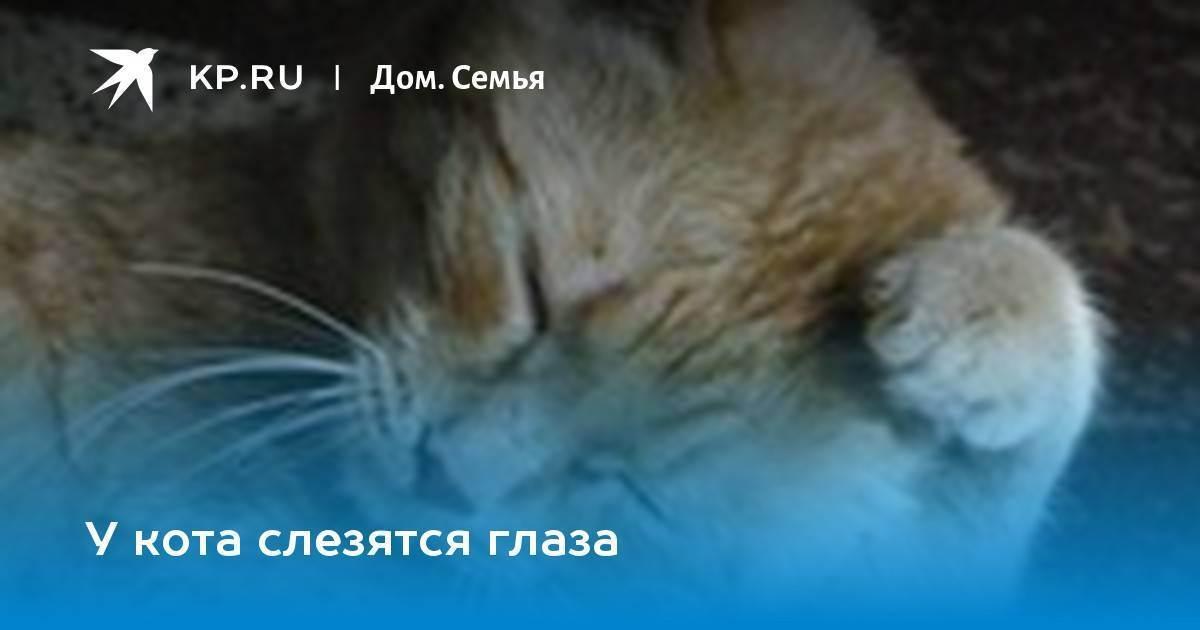 Что делать, если шотландского котенка слезятся глаза