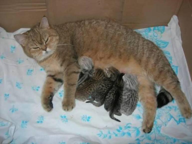 Когда котенка можно. когда и как лучше отлучать котенка от матери? подготовка котят к отлучению от кошки