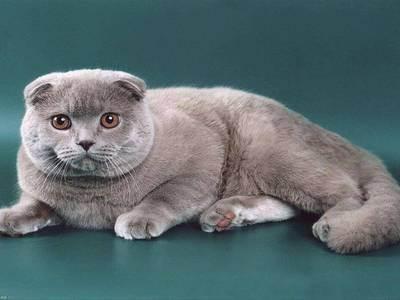 Каким характером отличаются шотландские кошки