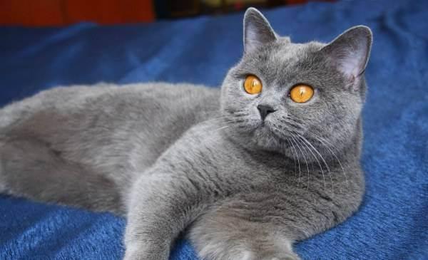 Белые британские кошки: описание породы и содержание
