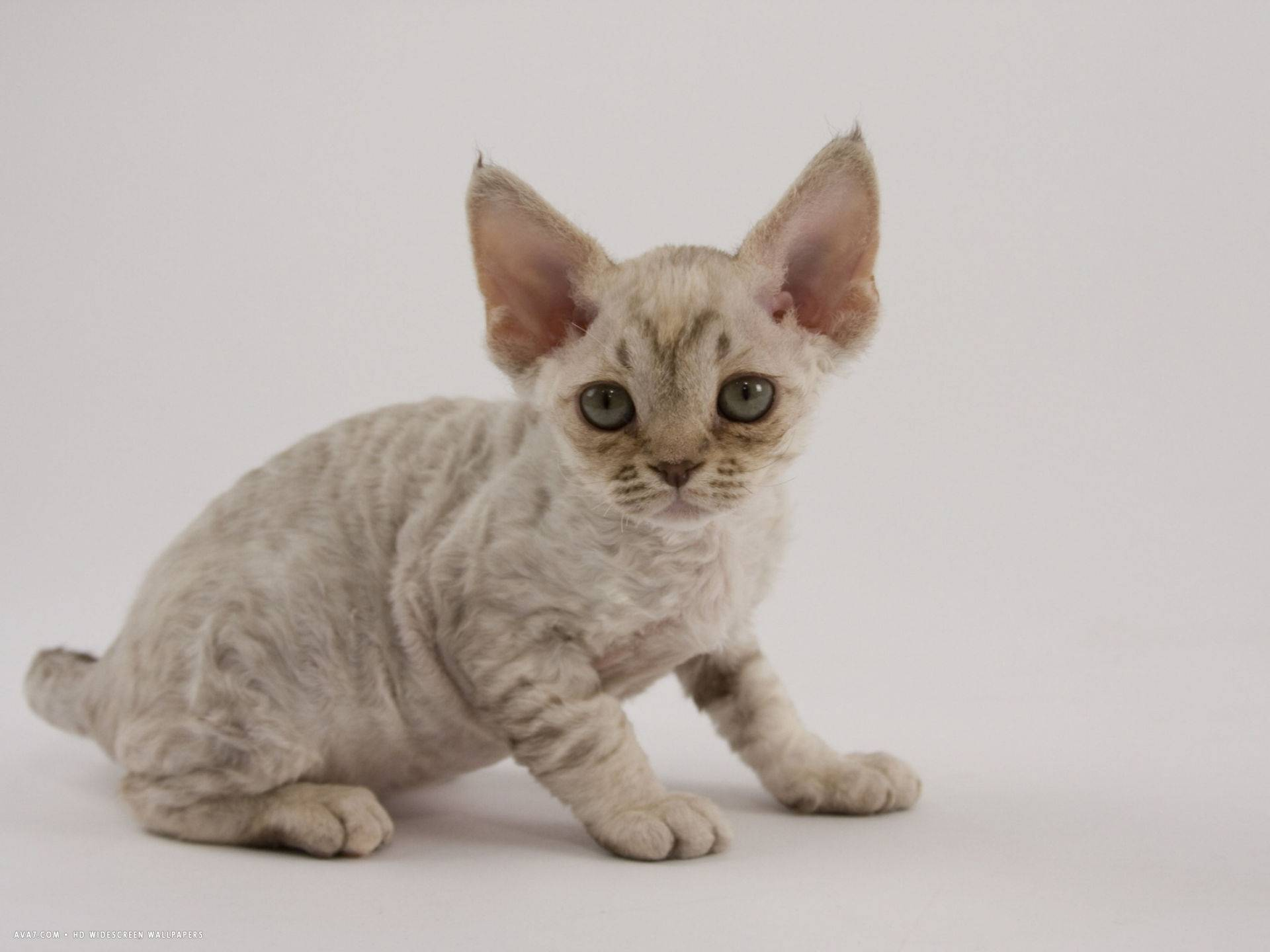 Варианты пород кошек для аллергиков и астматиков, примеры популярных видов