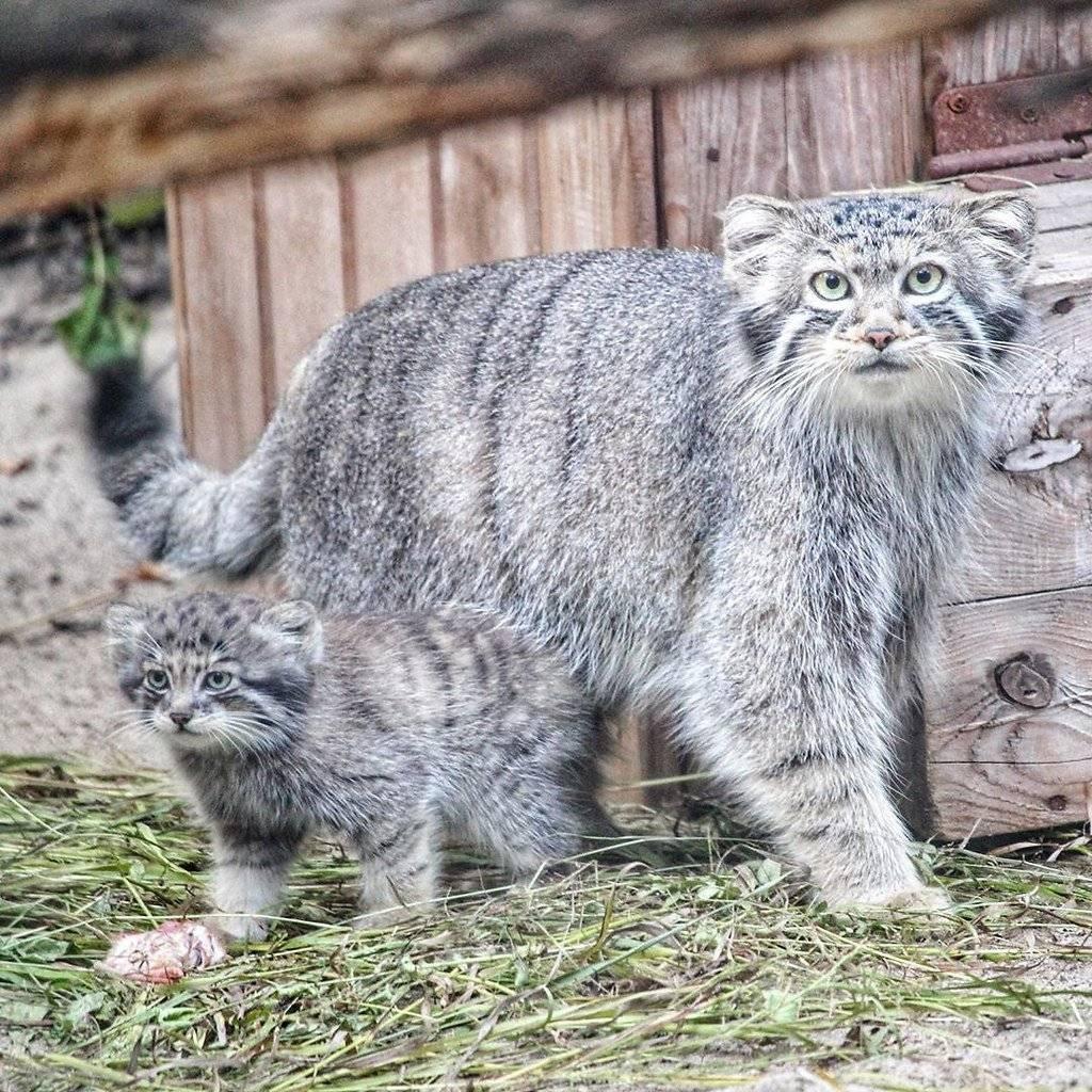Дикий кот манул — самый пушистый агрессор