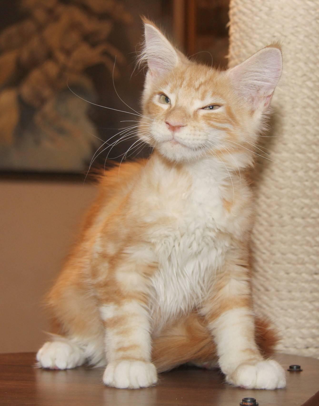 Порода кошек мэйн-кун: основные отличия, плюсы и минусы. сколько живут мейн-куны, трудно ли их содержать дома? . милая я
