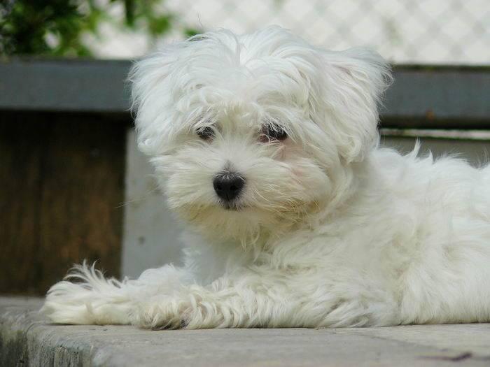 Болоньез - 120 фото декоративной собачи родом с италии. все о породе от а до я + отзывы владельцев