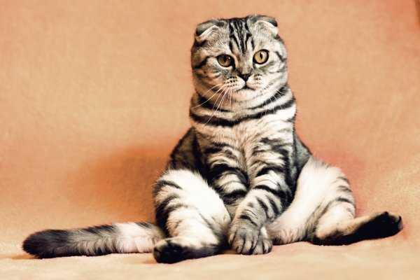У кошки начал облазить хвост – стоит ли переживать?