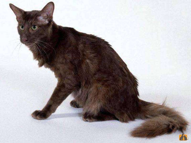 Список популярных пород кошек с фотографиями и описанием