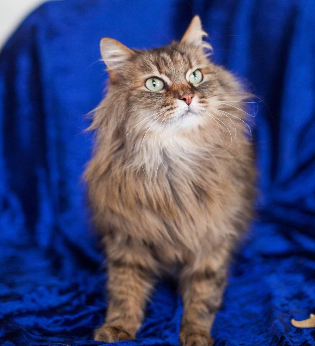 Пушистые породы кошек: топ-11