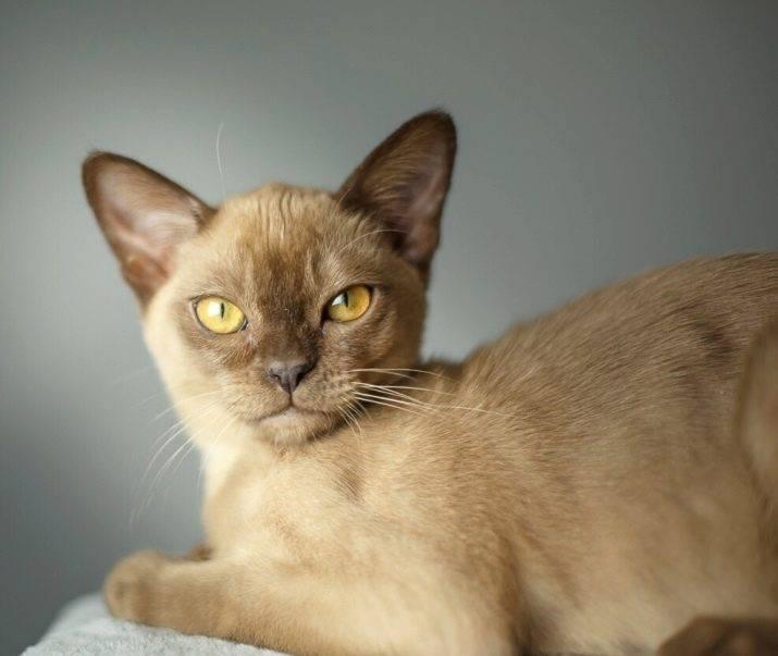 Породы гладкошерстных кошек без подшерстка. кошки всех пород с фотографиями, названиями и особенностями характера. домашние короткошерстные кошки.