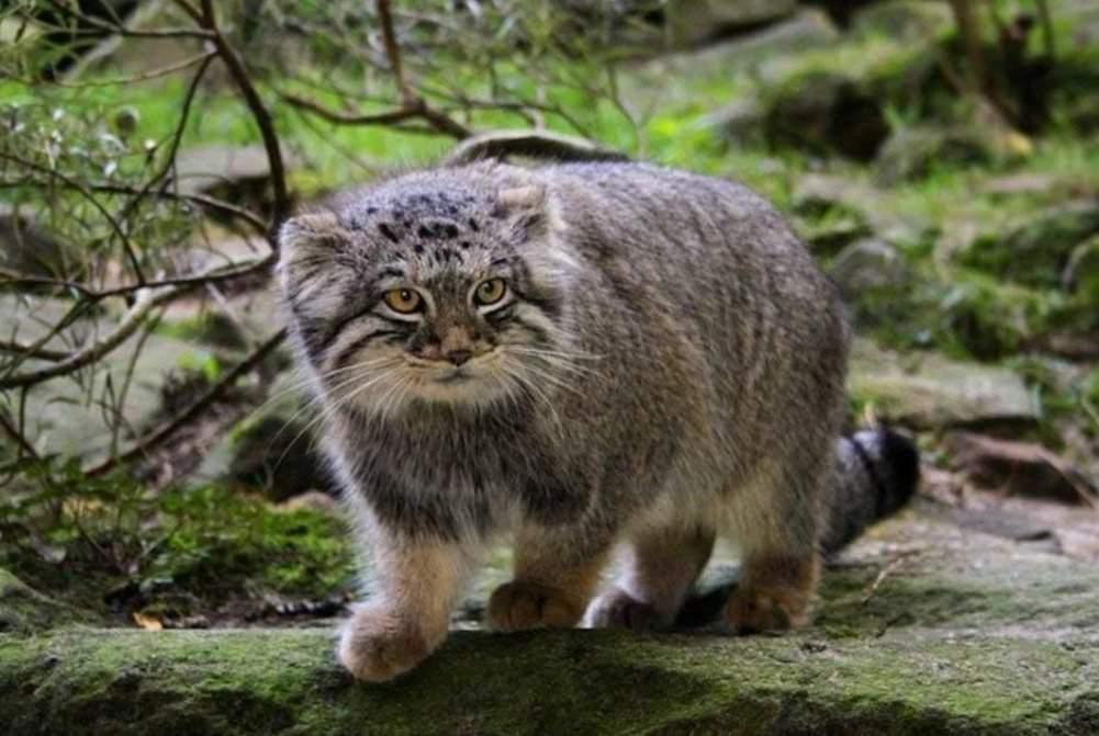 Дикий лесной кот: особенности одинокого хищника