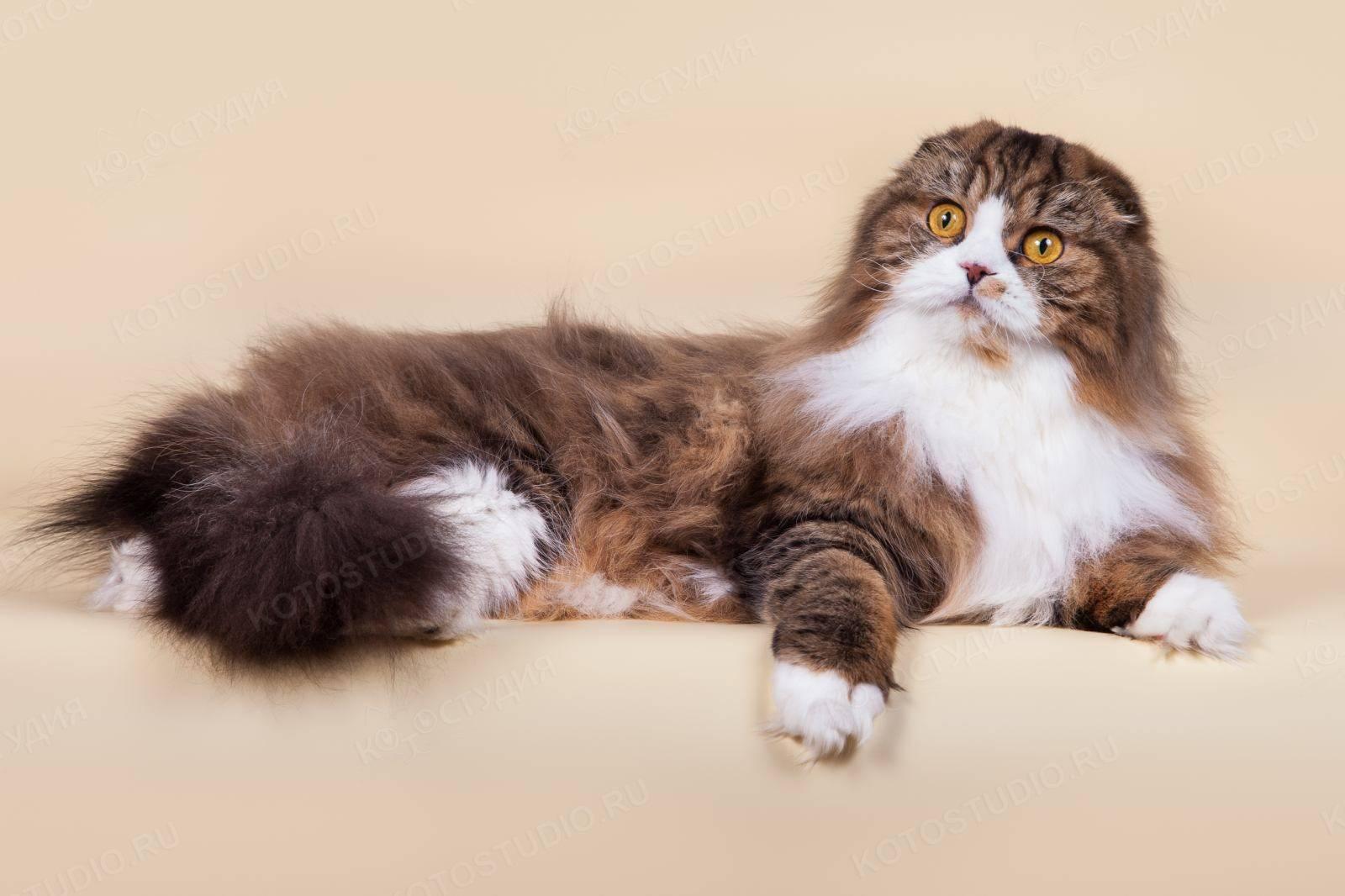 Британская длинношёрстная кошка: особенности породы и фото британца, уход за питомцем и содержание кота