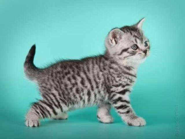 Какая порода кошек снимается в рекламе. порода кошек из рекламы «вискас. окрас британских кошек