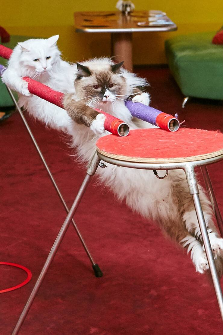 Как правильно дрессировать кошку: основы дрессировки в домашних условиях для начинающих