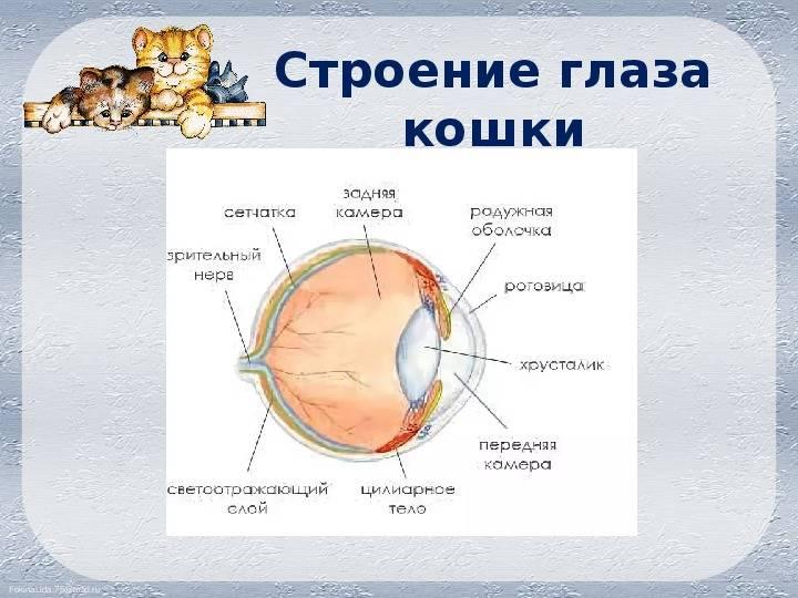 Внутрение органы: строение, анатомия, расположение, схемы кровеносной, дыхательное, выделительной и пищеварительной