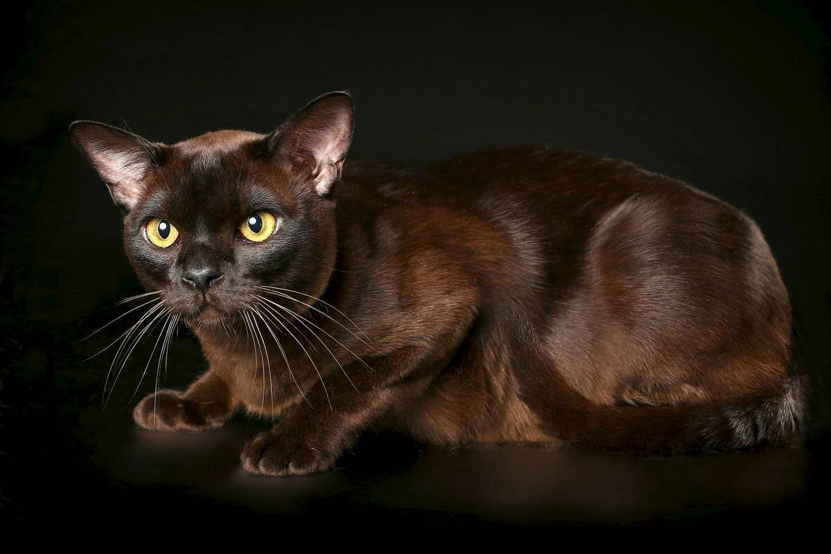 Коричневые и шоколадные коты: породы, описания, интересные факты