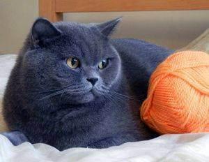 Расческа для британских кошек: поясняем по пунктам