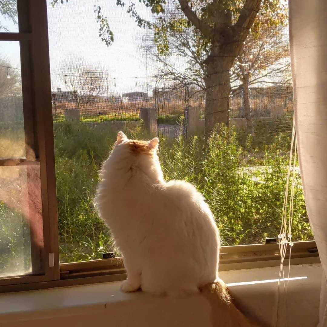 Мэнкс (мэнская бесхвостая кошка): 10 фото, цена, описание породы и характер котов