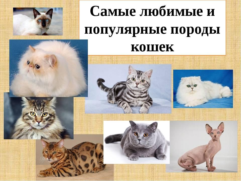 Агрессивные породы кошек: топ-5 самых злых и опасных животных