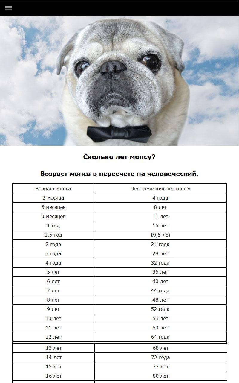 Сколько живут мопсы