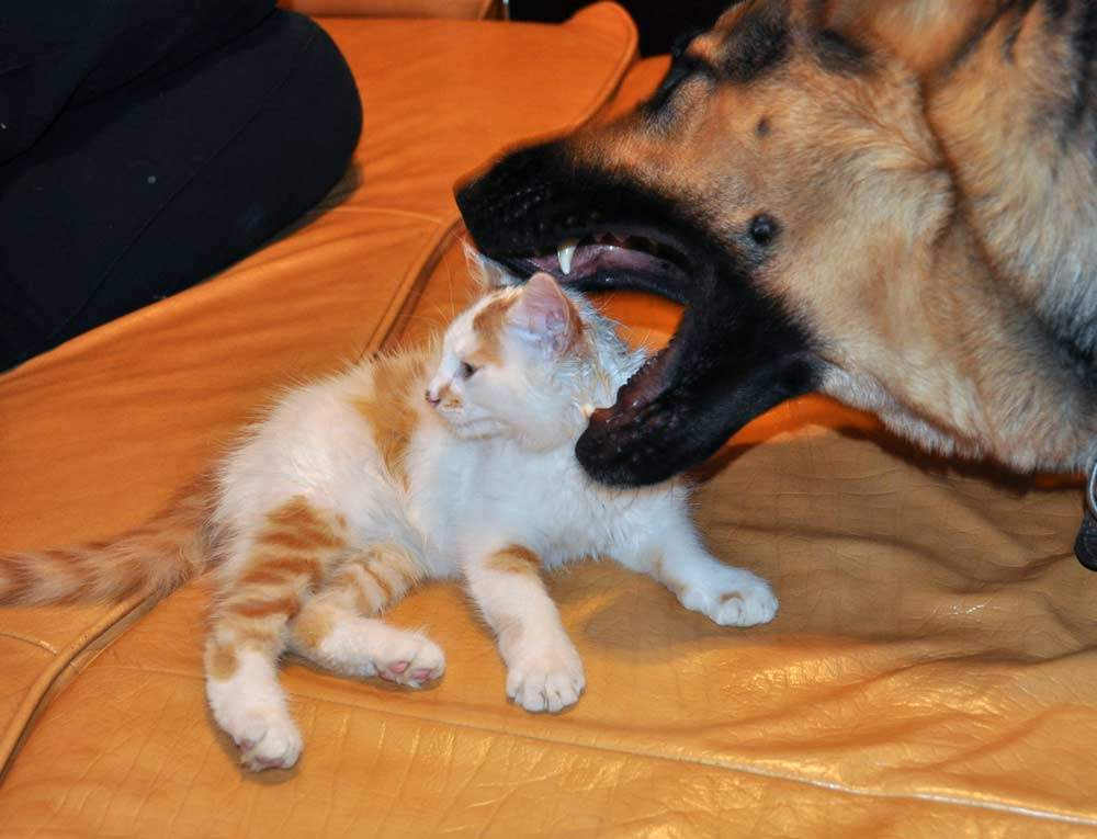 Как подружить двух кошек в одной квартире. советы эксперта