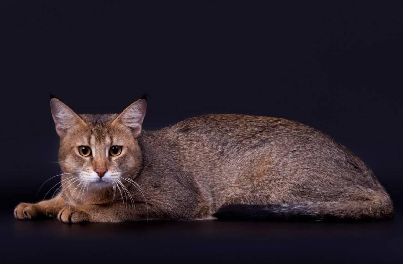 Самые дорогие породы кошек в мире – список, стоимость, описание, фото и видео