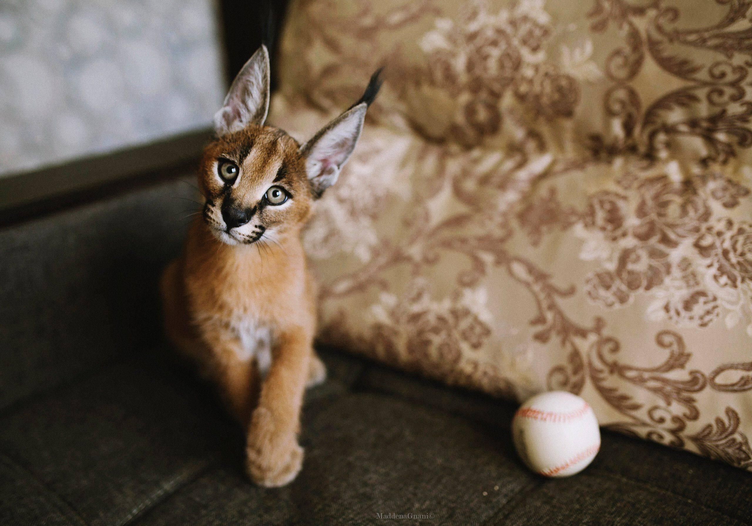 10 лучших пород кошек для квартиры