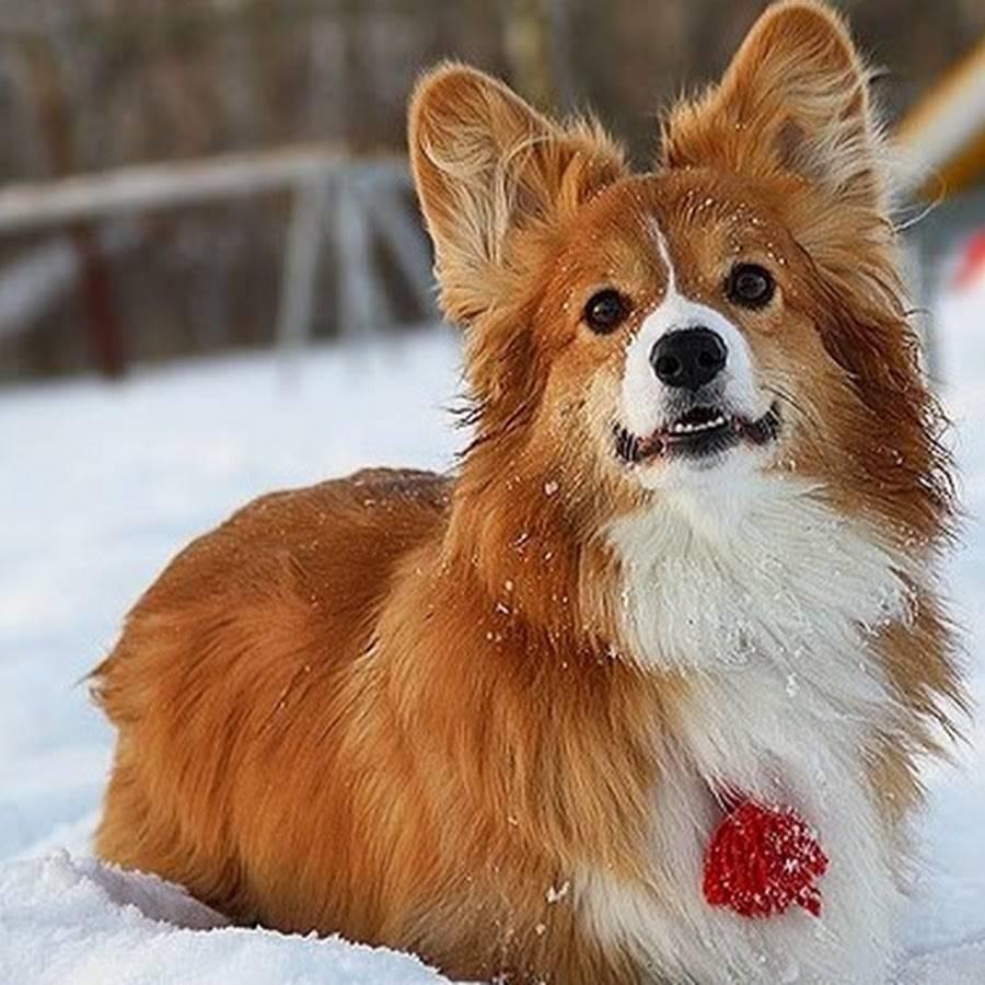 Описание вельш-корги флаффи: фото собак, отличия от стандарта породы, черты характера, правила ухода и выбор щенка