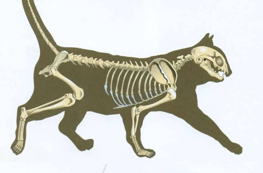 Всё об анатомии кошки: строение скелета и черепа