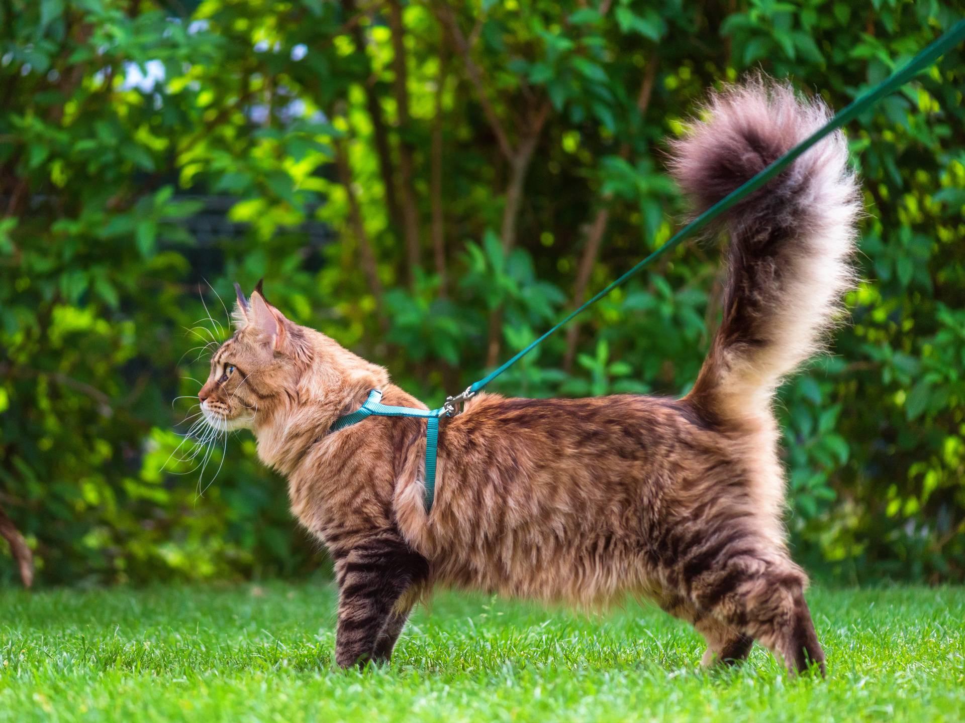 У кошки повис хвост: нормально ли это?