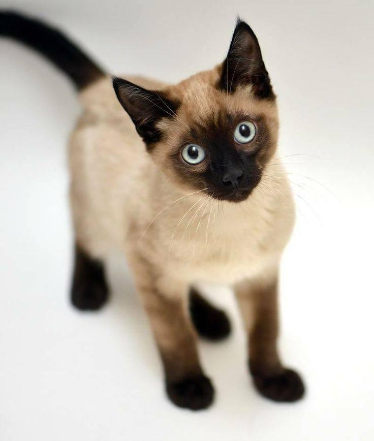 Клички для сиамских кошек и котов - красивые имена для котенка мальчика и девочки