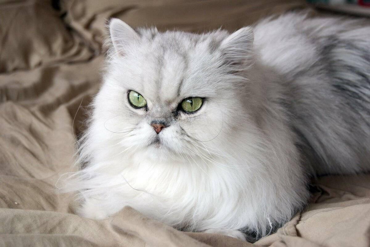 Персидская кошка и кот, 40 фото, описание породы и окрасов, котята