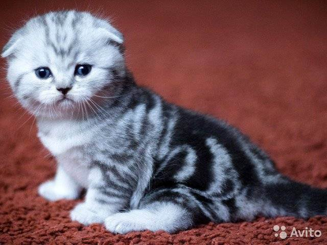 Шотландская прямоухая кошка скоттиш-страйт: описание породы с фото, характер и особенности ухода, выбор котенка и отзывы владельцев