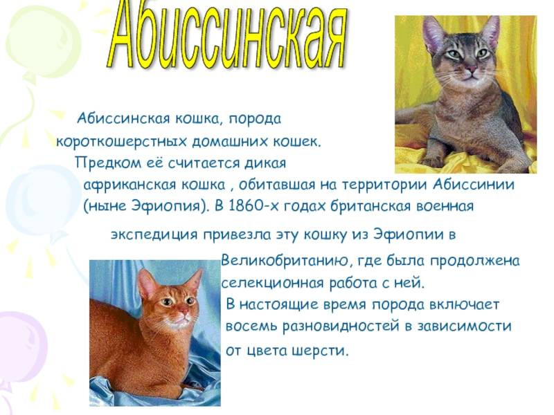 Абиссинская кошка. самое интересное о породе и характере