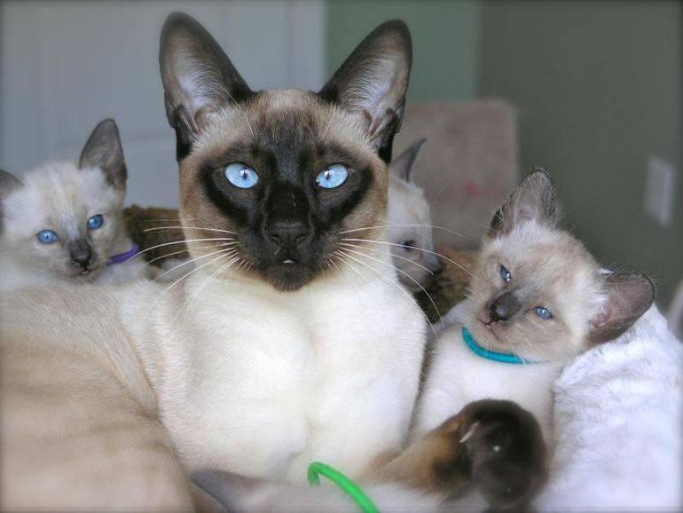 Сиамский кот: описание породы, характер, фото, особености...