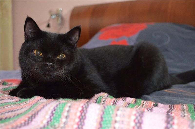 Черный британец: особенности породы, характер и уход за котом, фото, выбор котенка, отзывы владельцев британской кошки