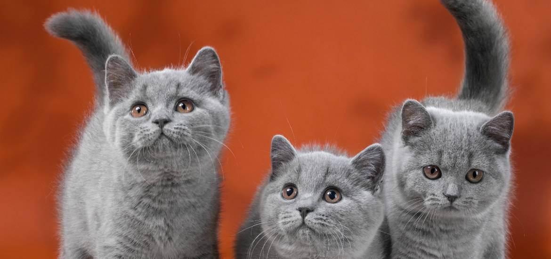 Питание вислоухого и прямоухого шотландского котенка или кота