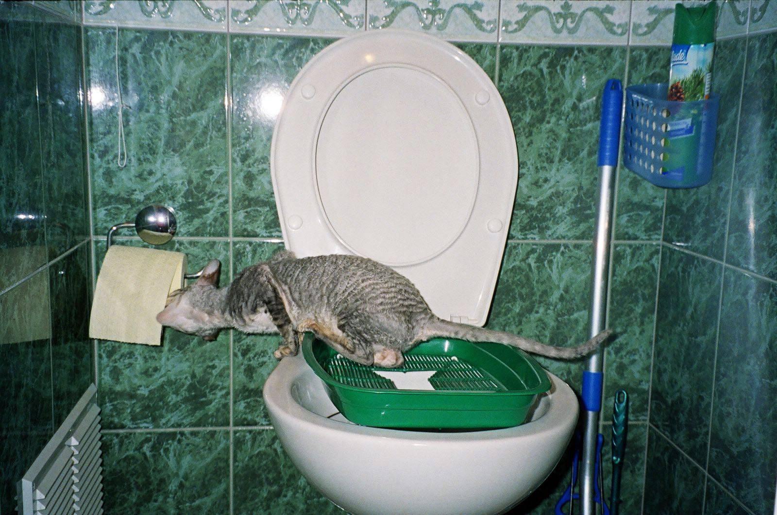 Как приучить котенка или взрослую кошку ходить в лоток с наполнителем или без и отучить питомца везде гадить?