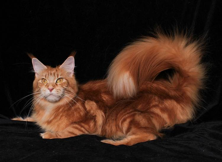 Окрасы кошек мейн-кун
