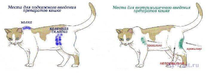 Подкожная инъекция глюкозы для кошки — о животных на чистоту