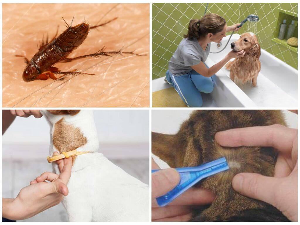 Кошачья блоха: симптомы заражения и способы борьбы с паразитом