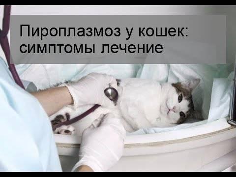 Гемобартонеллез у кошек: симптомы, лечение, профилактика