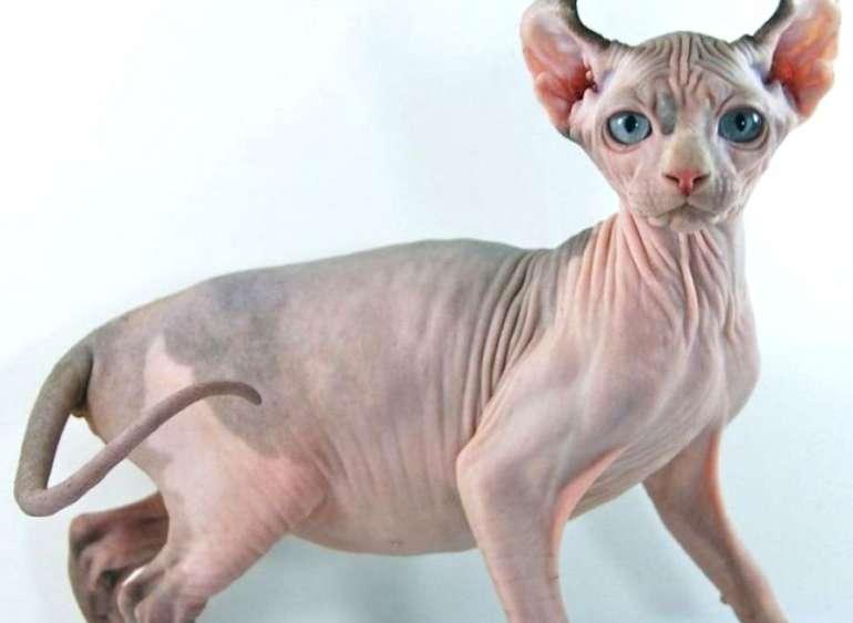 Самые необычные породы кошек с фотографиями и названиями | фото, домашние
