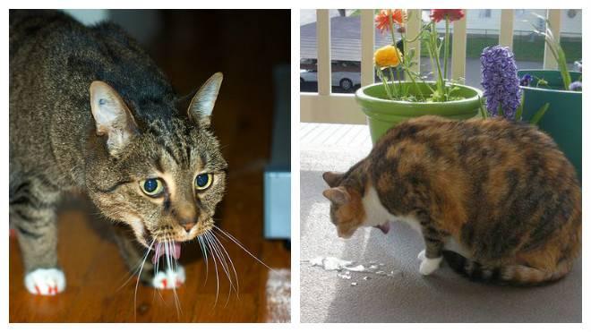 Кошку рвет белой пеной: причины и что делать в домашних условиях