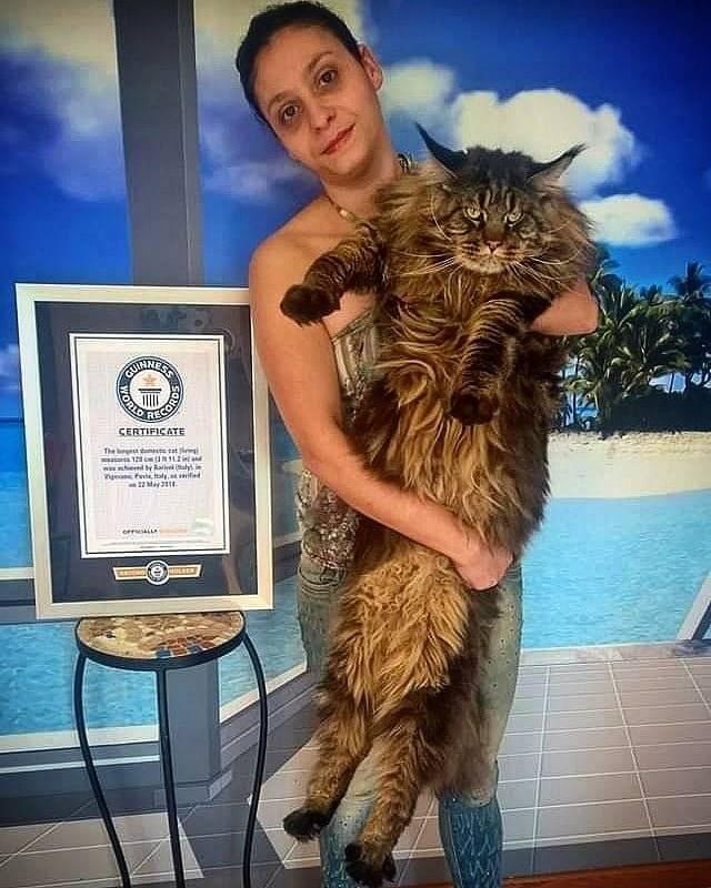 Рекорды гиннеса у кошек рекорды гиннеса у кошек