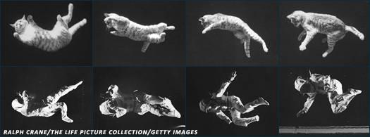 Кошка приземляется на лапы. почему кошки приземляются только на лапы