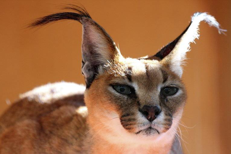 История выведения кошек с кисточками на ушах, основные признаки породы