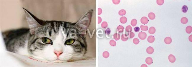 Лечение гемобартонеллеза у кошек: симптомы, методы, профилактика