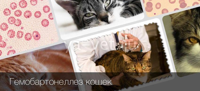 Анемия у кошек: причины, виды, методы лечения и профилактика