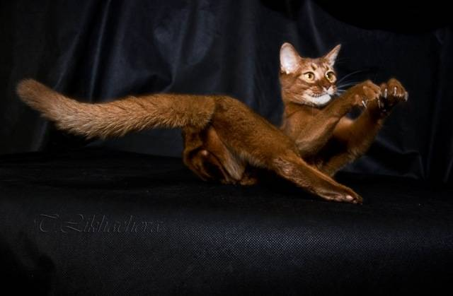 Кошки без хвоста:  список бесхвостых пород с фото