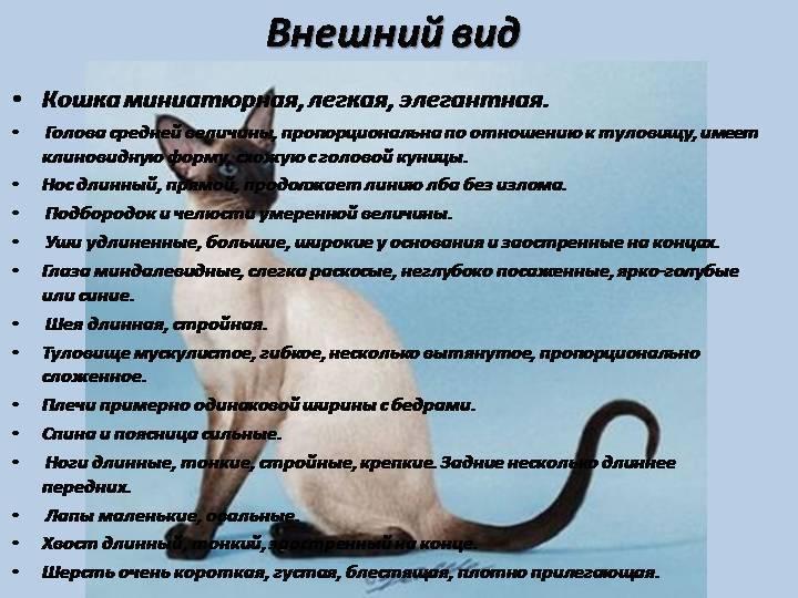 Внешность, характер и правила содержания кошки охос азулес